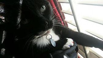 Domestic Mediumhair Cat for adoption in Atlanta, Georgia - Tux