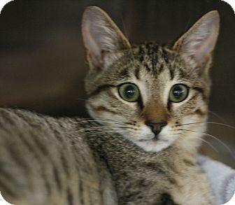 Domestic Shorthair Kitten for adoption in Canoga Park, California - Jayson