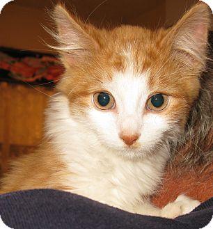 Domestic Longhair Kitten for adoption in Bedford, Virginia - Bamboo