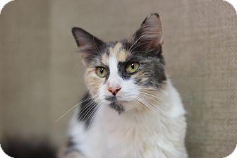 Domestic Mediumhair Cat for adoption in Midland, Michigan - Everly - PICK YOUR PRICE