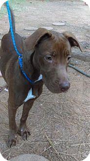 Labrador Retriever Mix Puppy for adoption in North Brunswick, New Jersey - taz