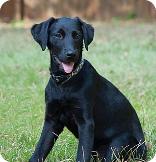 Labrador Retriever/Flat-Coated Retriever Mix Puppy for adoption in Woodstock, Georgia - Stella