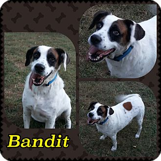 Springer Spaniel/St. Bernard Mix Dog for adoption in Lexington, Kentucky - Bandit