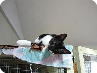 Domestic Shorthair Kitten for adoption in Lindsay, Ontario - Ash