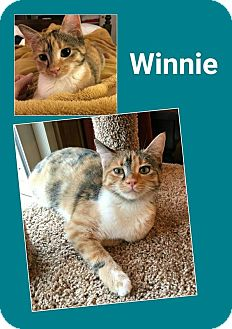 Domestic Shorthair Cat for adoption in North Richland Hills, Texas - Winnie