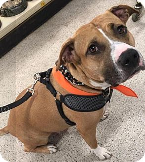 American Staffordshire Terrier Mix Dog for adoption in Mt. Clemens, Michigan - Alice