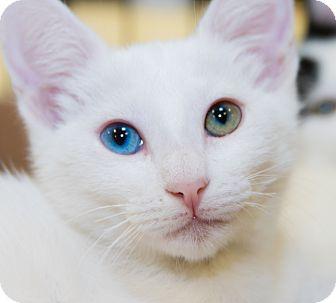 Domestic Shorthair Kitten for adoption in Irvine, California - Daisy
