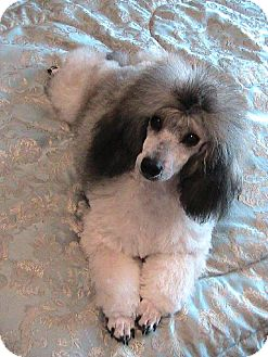 Poodle (Miniature) Dog for adoption in Santa Fe, Texas - Picasso