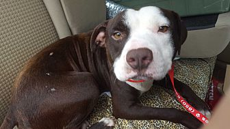 American Pit Bull Terrier Dog for adoption in Marianna, Florida - Balrog