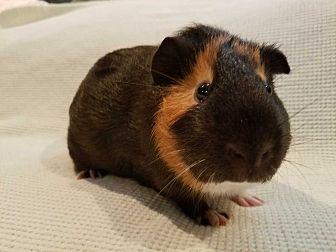 Guinea Pig for adoption in Harleysville, Pennsylvania - Teller