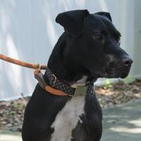 Adopt A Pet :: Stallone - Charleston, SC