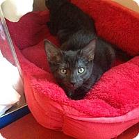 Adopt A Pet :: BoBeary - Youngsville, NC