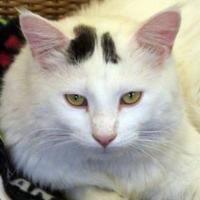 Domestic Shorthair/Domestic Shorthair Mix Cat for adoption in Sheridan, Wyoming - Joe