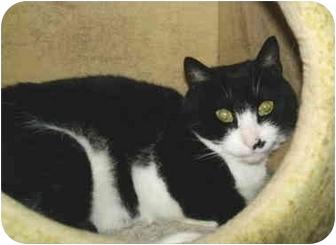 Domestic Shorthair Cat for adoption in Colmar, Pennsylvania - Berkey