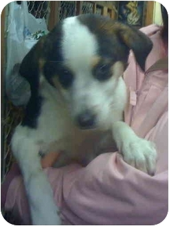 Beagle/Pointer Mix Puppy for adoption in Loudonville, New York - Freddie