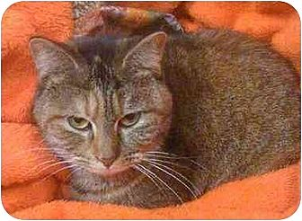 Domestic Shorthair Cat for adoption in Tomball, Texas - Tori