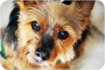 Yorkie, Yorkshire Terrier Dog for adoption in Commerce TWP, Michigan - BECK is BEST!