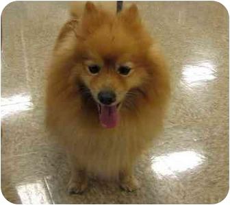 Pomeranian Mix Dog for adoption in Worcester, Massachusetts - Lional