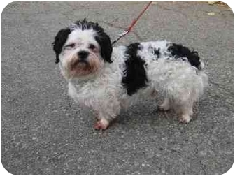 Shih Tzu Mix Dog for adoption in Randolph, New Jersey - Snoopy