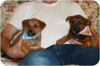 Australian Cattle Dog Mix Puppy for adoption in California City, California - Lucy & Ricky