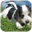Photo 1 - Treeing Walker Coonhound Mix Puppy for adoption in Florence, Indiana - Tubs