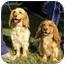 Photo 1 - Golden Retriever/Spaniel (Unknown Type) Mix Dog for adoption in Hamburg, Pennsylvania - Puggles & Tuggles