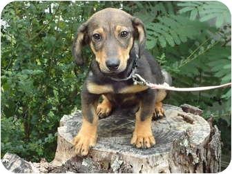 Dachshund Mix Puppy for adoption in Somerset, Kentucky - Buddy