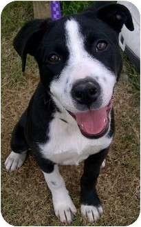 Boxer/Border Collie Mix Puppy for adoption in Portsmouth, Rhode Island - Ivy Blue