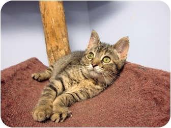 Domestic Shorthair Kitten for adoption in Chicago, Illinois - Noel