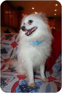 American Eskimo Dog Mix Dog for adoption in Beavercreek, Ohio - DAKOTA