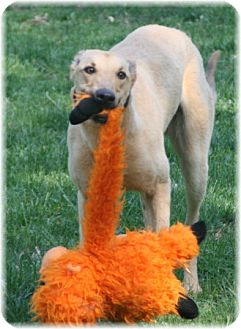 Greyhound Dog for adoption in Harrisburg, Pennsylvania - Friendly Guy