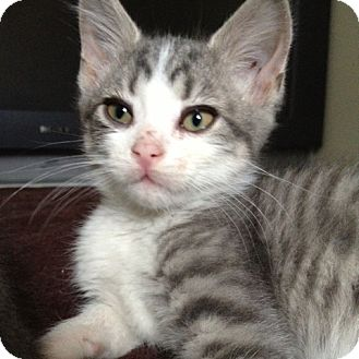 Domestic Shorthair Kitten for adoption in Toronto, Ontario - Drake
