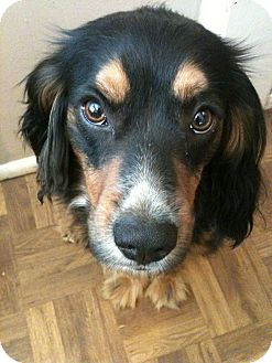 Bernese Mountain Dog/Cocker Spaniel Mix Dog for adoption in Los Angeles, California - Teddy
