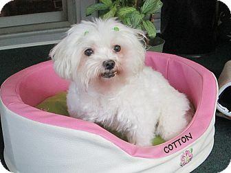 Maltese Dog for adoption in Wilmington, Delaware - Cotton