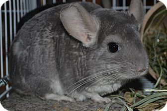 Chinchilla for adoption in Lindenhurst, New York - Bijou