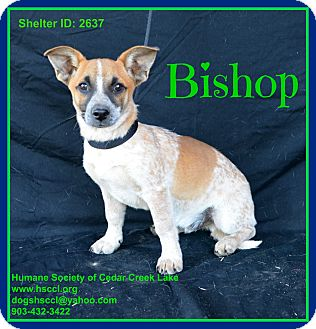 Australian Cattle Dog Mix Puppy for adoption in Plano, Texas - Bishop