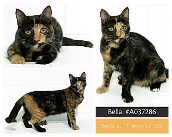 Domestic Shorthair Cat for adoption in Lufkin, Texas - Bella