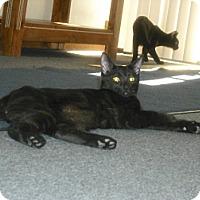 Bombay Kitten for adoption in Mesa, Arizona - Jesse
