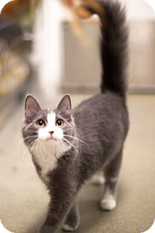 Domestic Mediumhair Kitten for adoption in Las Vegas, Nevada - Majesty