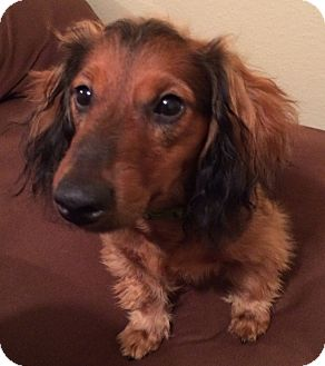Dachshund Puppy for adoption in Cranford, New Jersey - Baxter