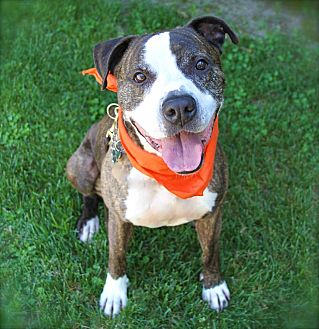 Boxer/American Staffordshire Terrier Mix Dog for adoption in Burbank, California - Handsome Dexter-VIDEOS