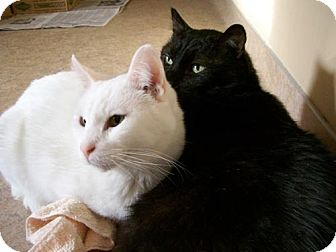 Domestic Shorthair Cat for adoption in Parkville, Missouri - Jack and Mighty Jo