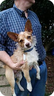Terrier (Unknown Type, Small) Mix Dog for adoption in Milton, New York - Shaggy