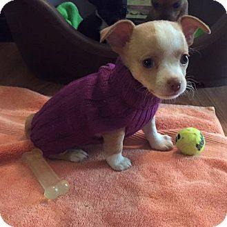 Chihuahua Mix Puppy for adoption in Homewood, Alabama - Rae