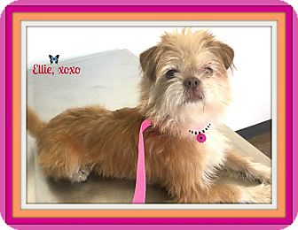 Brussels Griffon/Cairn Terrier Mix Dog for adoption in Seattle, Washington - Ellie