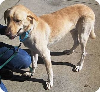 Labrador Retriever Mix Dog for adoption in Dover, Tennessee - Nike