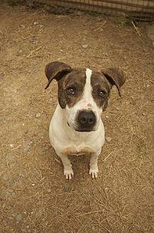 German Shorthaired Pointer Mix Dog for adoption in Pt. Richmond, California - BEN
