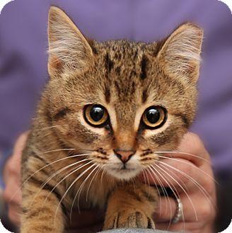 Domestic Shorthair Kitten for adoption in Brimfield, Massachusetts - Priscilla