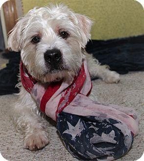 Wheaten Terrier Mix Dog for adoption in Oviedo, Florida - Jasper