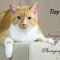 Domestic Shorthair Cat for adoption in Oklahoma City, Oklahoma - Tiny